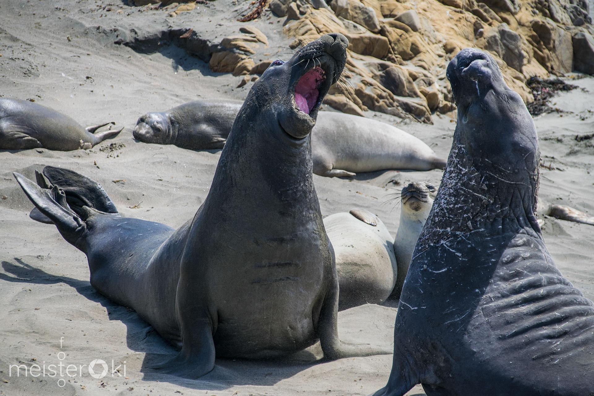 Seeelefanten